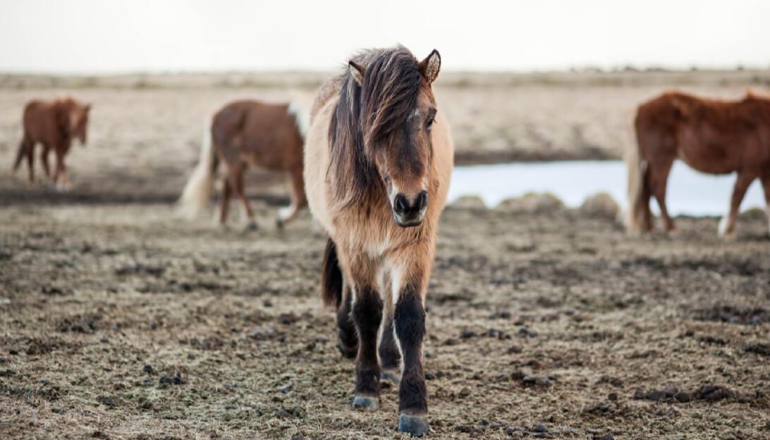 Icelandic Ponies at Sea Image